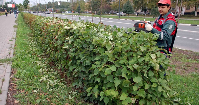 Стрижка изгороди из боярышника