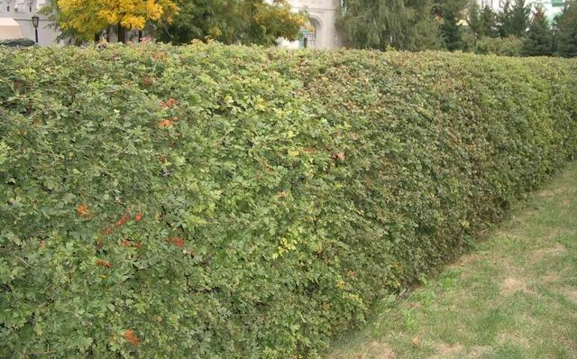 Ограда из боярышника