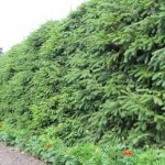 Ограда из ели