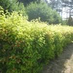 Ограды из растений