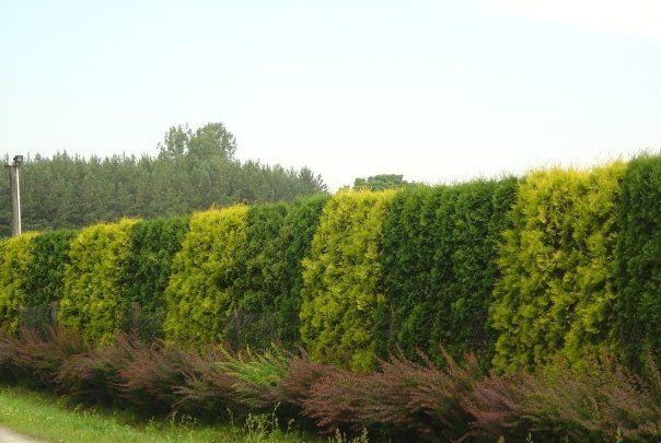 Живая ограда из туи