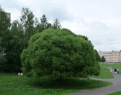Сорт Ломкая (ракита)