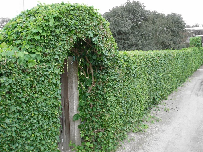 Забор из плюща