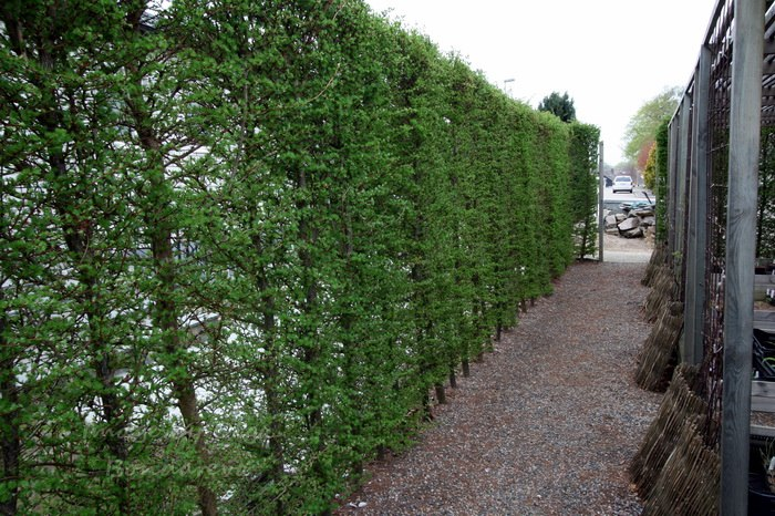 Забор из лиственниц