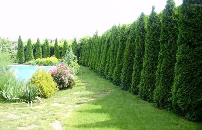 Изгородь из деревьев