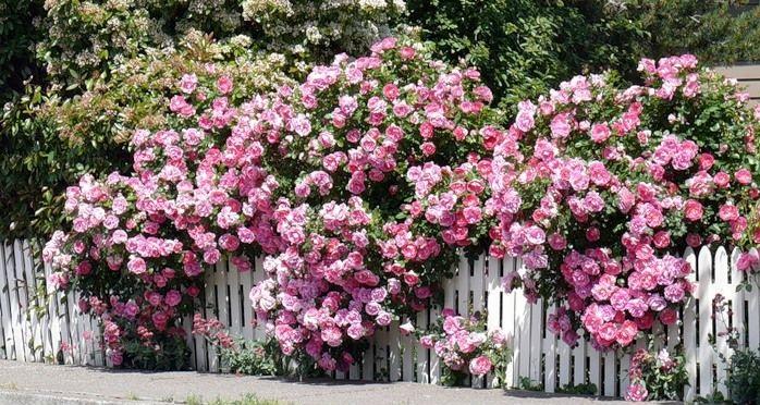 Ограждение из роз