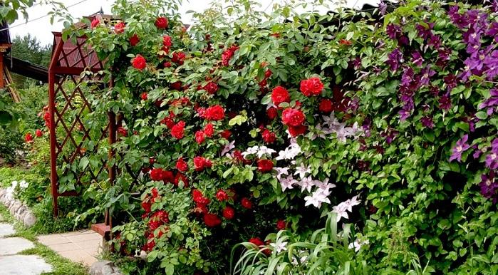 Цветник из роз