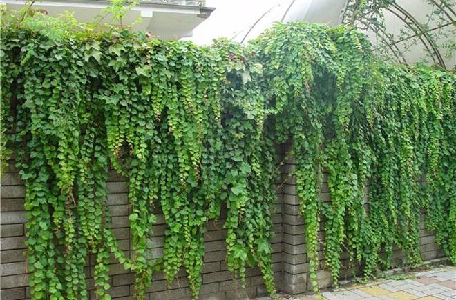 Декорирование забора растениями