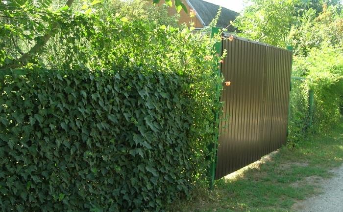 Плющ на заборе