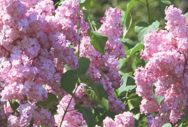розовый сорт